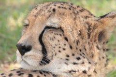 Leopardo el dormir Imagen de archivo libre de regalías