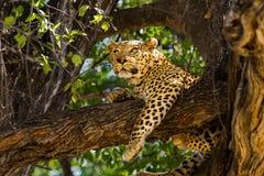 Leopardo el dormir en árbol Fotografía de archivo libre de regalías
