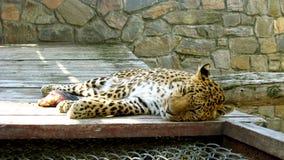 Leopardo el dormir en el parque zoológico fotografía de archivo