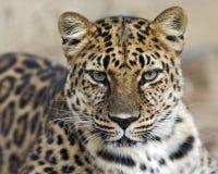Leopardo el mirar fijamente Fotos de archivo libres de regalías