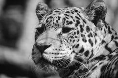 Leopardo em preto e branco Fotos de Stock