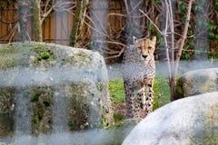 Leopardo em um jardim zoológico fotos de stock royalty free