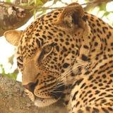 Leopardo em uma árvore fotografia de stock royalty free