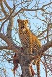 Leopardo em uma árvore com matança Imagem de Stock Royalty Free