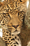 Leopardo em uma árvore Fotos de Stock Royalty Free