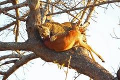 Leopardo em uma árvore com matança Fotos de Stock Royalty Free