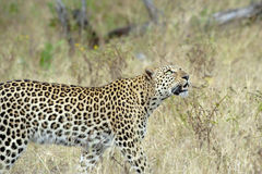 Leopardo en África foto de archivo libre de regalías