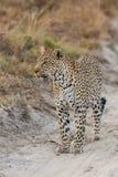 Leopardo en camino Imágenes de archivo libres de regalías