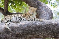 Leopardo en el árbol, África fotos de archivo
