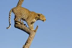 Leopardo en el árbol, Suráfrica Imagen de archivo libre de regalías