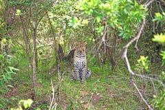 Leopardo en el cepillo Fotos de archivo