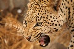 Leopardo en el parque nacional de Kruger Foto de archivo