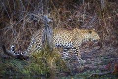 Leopardo en el parque nacional de Kruger, Suráfrica imagenes de archivo