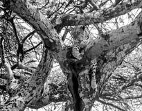 Leopardo en el puesto de observación. Foto de archivo