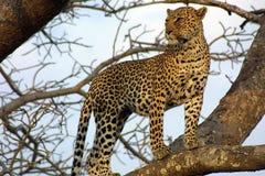 Leopardo en el puesto de observación Imagenes de archivo