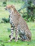 Leopardo en el salvaje Fotos de archivo libres de regalías