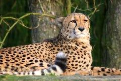 Leopardo en el sol de la tarde Imagen de archivo libre de regalías