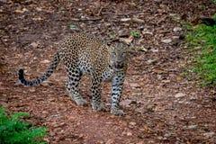 Leopardo en el vagabundeo Fotografía de archivo libre de regalías