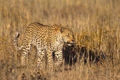 Leopardo en hierba Fotografía de archivo libre de regalías