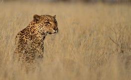 Leopardo en hierba alta Fotos de archivo libres de regalías