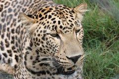 Leopardo en la caza imagen de archivo libre de regalías