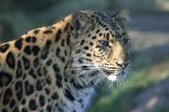 Leopardo en la cortina Fotografía de archivo libre de regalías