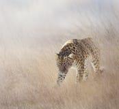 Leopardo en la hierba fotos de archivo