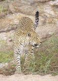 Leopardo en la reserva de naturaleza Imagen de archivo