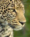 Leopardo en la reserva nacional del serengeti Foto de archivo