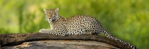 Leopardo en la reserva nacional del serengeti Fotografía de archivo