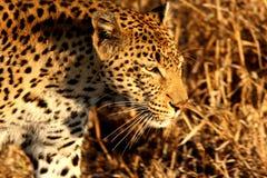 Leopardo en las arenas de Sabi Imagenes de archivo