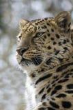 Leopardo en los árboles Imagenes de archivo