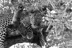 Leopardo en los árboles Foto de archivo
