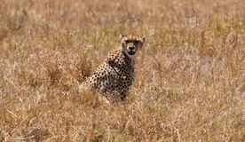 Leopardo en Ngorongoro N.P. foto de archivo