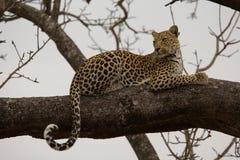 Leopardo en árbol Imágenes de archivo libres de regalías