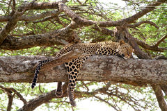 Leopardo en árbol Foto de archivo