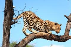 Leopardo en árbol Fotografía de archivo