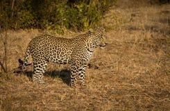 Leopardo en sol de la mañana Imagenes de archivo