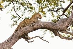 Leopardo en un árbol fotografía de archivo libre de regalías