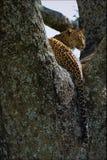Leopardo en un árbol. Fotos de archivo