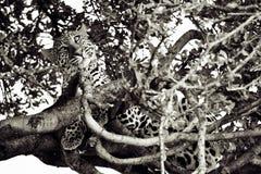 Leopardo en un árbol Imagenes de archivo