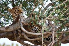 Leopardo en un árbol Fotos de archivo libres de regalías