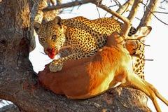 Leopardo en un árbol con matanza Imágenes de archivo libres de regalías