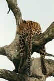 Leopardo en un árbol viejo Fotos de archivo