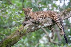 Leopardo en un árbol y mirada de la cámara Imágenes de archivo libres de regalías