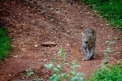 Leopardo en un camino forestal Imagenes de archivo