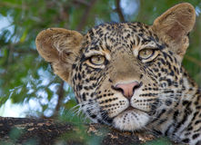Leopardo en un cierre del árbol para arriba Imagenes de archivo