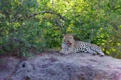 Leopardo en un montón de la termita imagen de archivo libre de regalías