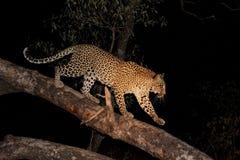 Leopardo en un árbol Imágenes de archivo libres de regalías