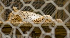 Leopardo en una jaula Fotos de archivo